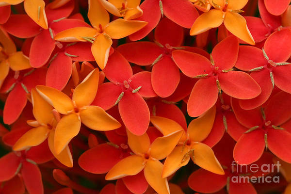 Wall Art - Photograph - Ashoka Flowers, Popular Flowers Grows by Snehit