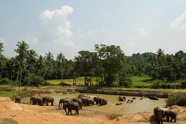 Elk Herd Photograph - Asian Elephants Bathing by John Elk Iii