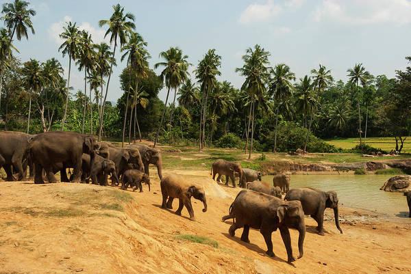 Elk Herd Photograph - Asian Elephants Going To Bathe by John Elk Iii
