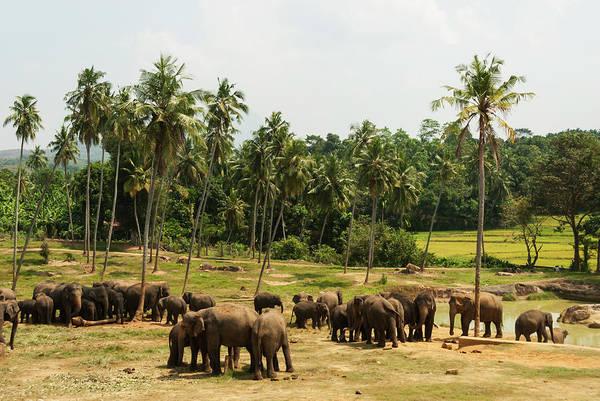 Elk Herd Photograph - Asian Elephants by John Elk Iii
