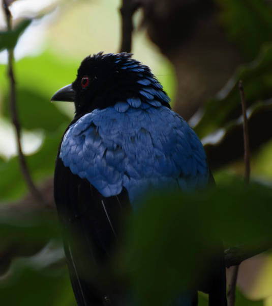 Photograph - Asian Fairy Bluebird Portrait by Chris Flees