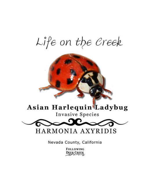 Digital Art - Asian Harlequin Ladybug by Lisa Redfern