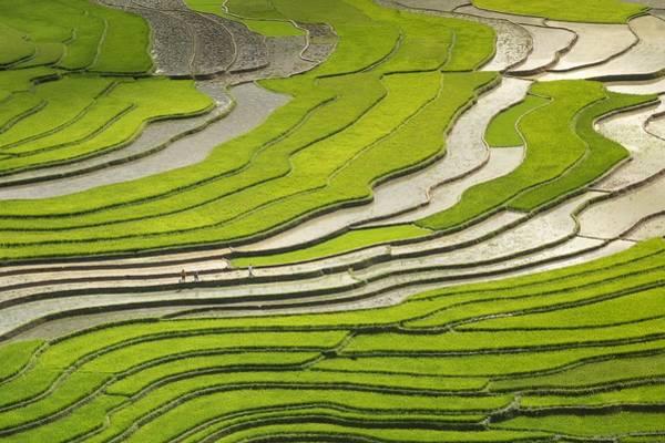Asian Rice Field Art Print
