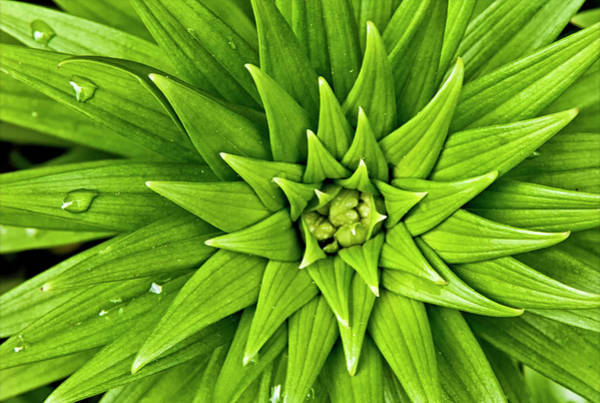 Asiatic Lily Leaves Art Print