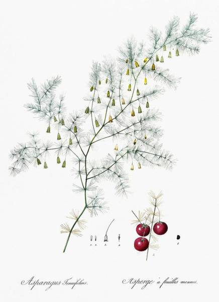 Wall Art - Painting - Asparagus Fern Illustration From Les Liliacees  1805  By Pierre Joseph Redoute  1759-1840  by Pierre Joseph Redoute