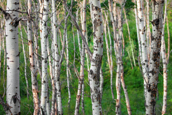 Photograph - Aspen Abstract by Todd Klassy