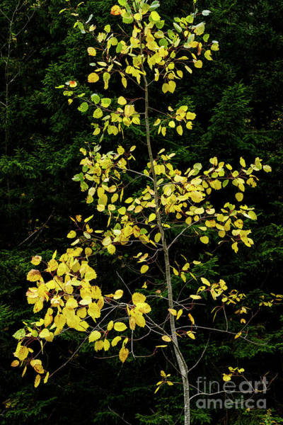 Photograph - Aspen Against Red Spruce by Thomas R Fletcher