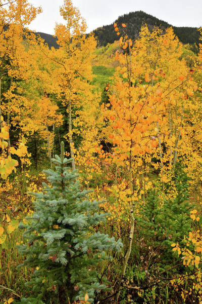 Photograph - Aspen And Fur Saplings In Fall by Ray Mathis