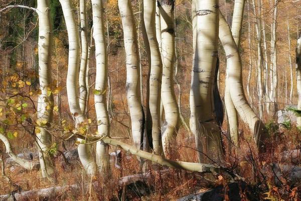 Wall Art - Photograph - Aspen Curves by Donna Kennedy
