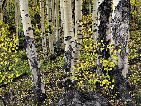 Photograph - Aspen Forest by Leland D Howard