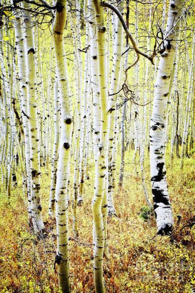 Photograph - Aspen Forest by Scott Kemper