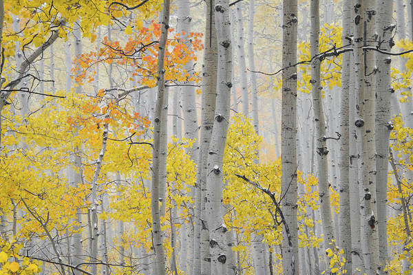 Photograph - Aspen Forest Texture by Leland D Howard