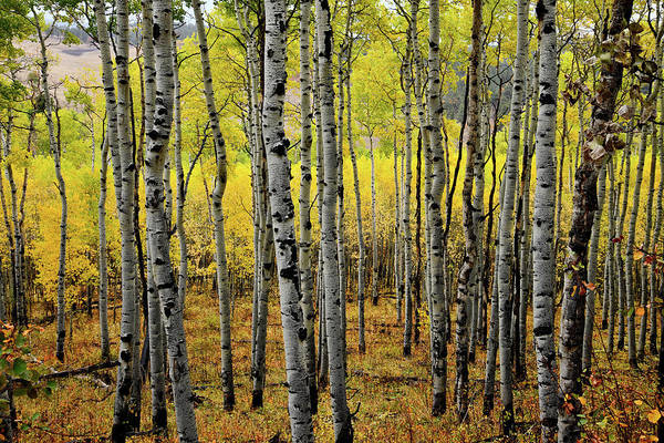 Photograph - Aspen Grove Along County Road 5 by Ray Mathis