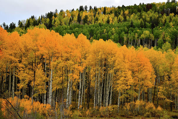 Photograph - Aspen Grove In Full Color by Ray Mathis