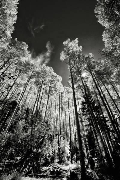 Photograph - Aspen Grove On Italianos Canyon Trail by Robert Woodward