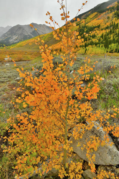 Photograph - Aspen Sapling Along Castle Creek Road by Ray Mathis