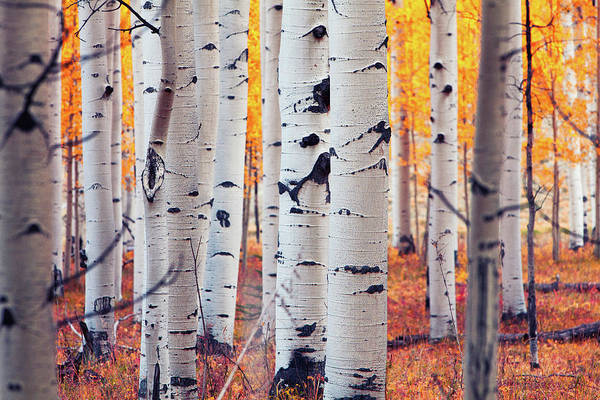 Ridgway Photograph - Aspen Stand by Hansrico Photography