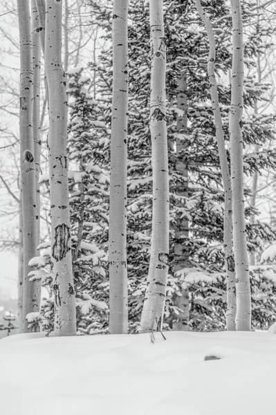 Wall Art - Photograph - Aspen Tree In Snow by Hyuntae Kim