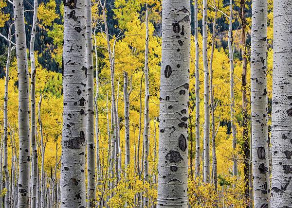 Aspen Trees And Fall Foliage Art Print
