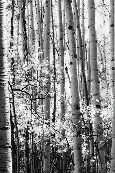 Radiant Photograph - Aspen Trees Black And White by The Forests Edge Photography - Diane Sandoval