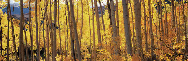 Wall Art - Photograph - Aspen Trees In Autumn, Colorado, Usa by Panoramic Images