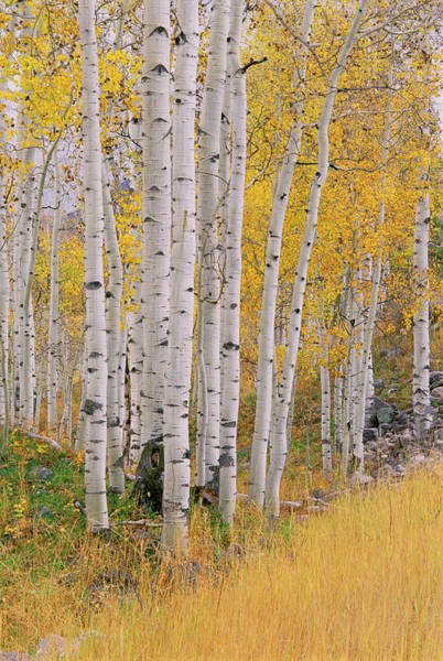 Uinta Photograph - Aspen Trees In Autumn With White Bark by Mint Images - David Schultz