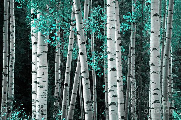 Wall Art - Photograph - Aspen Trunks Turquoise Leaves by John Stephens