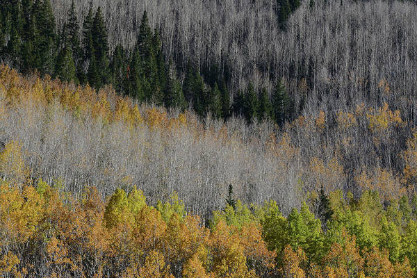 Pine Tree Photograph - Aspens And Pines by Bill Ferris Photography