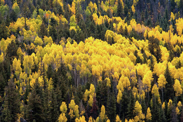 Photograph - Aspens And Pines by Steve Stuller