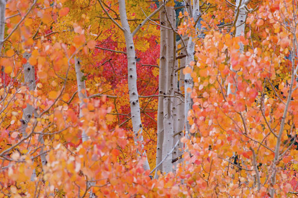 Little People Photograph - Aspens In Autumn Foliage, Little by Danita Delimont