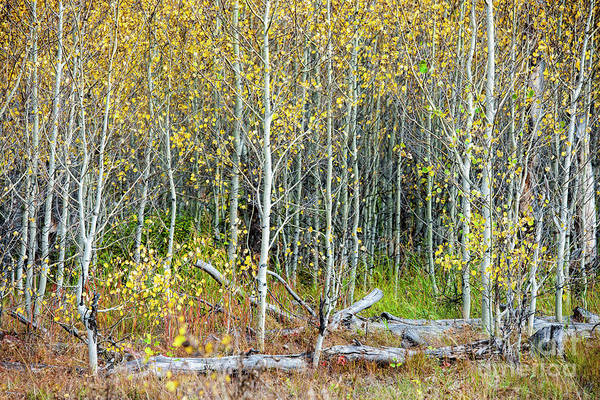 Wall Art - Photograph - Aspens In Fall by Sandra Bronstein