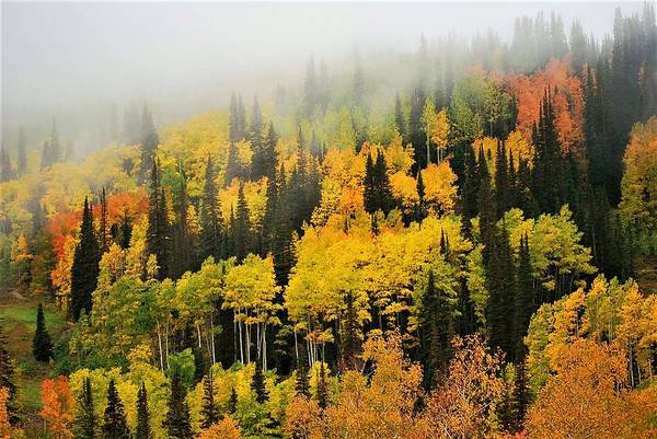 Photograph - Aspens In Fog by Peter Mathios