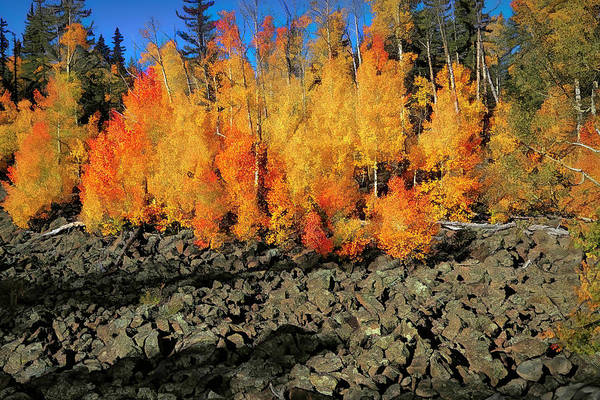 Wall Art - Photograph - Aspens In Lava Flow by Donna Kennedy