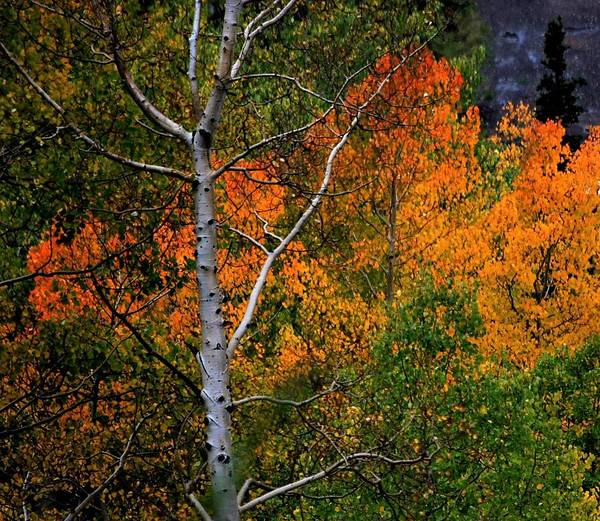 Photograph - Aspens In Orange by Peter Mathios