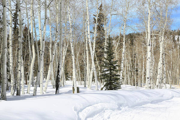 Wall Art - Photograph - Aspens In The Snow by Donna Kennedy