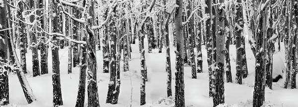 Photograph - Aspens In Winter by Leland D Howard