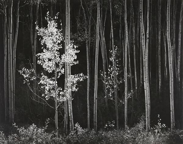 Scene Digital Art - Aspens Northern New Mexico by Ansel Adams