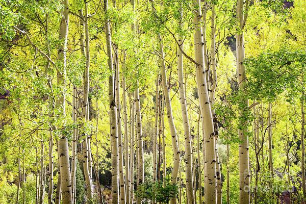 Photograph - Aspens Of Telluride by Scott Kemper