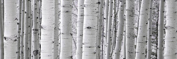 Photograph - Aspens by Ryan Smith