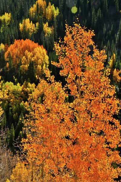 Photograph - Aspens Stand Out On Hillside by Ray Mathis