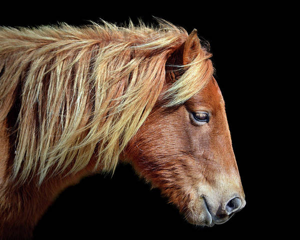 Assateague Pony Sarah's Sweet Tea Portrait On Black Art Print