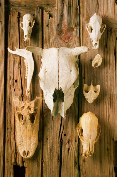 Wall Art - Photograph - Assorted Animal Skulls On Wooden Fence by Garry Gay