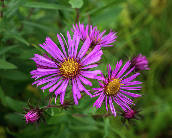 Wall Art - Photograph - Aster In The Wild by Bill Pevlor