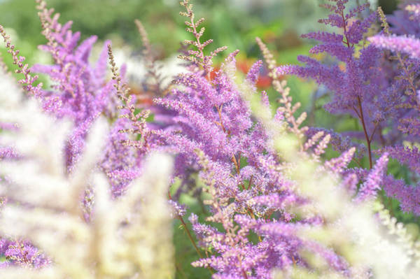 Photograph - Astilbe Chinensis Pumila 1 by Jenny Rainbow