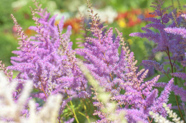 Photograph - Astilbe Chinensis Pumila 2 by Jenny Rainbow
