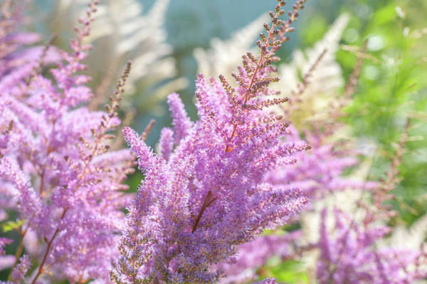 Photograph - Astilbe Chinensis Pumila by Jenny Rainbow