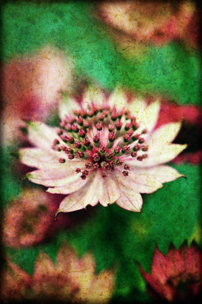 Astrantia Photograph - Astrantia, Flower Close-up by James A. Guilliam