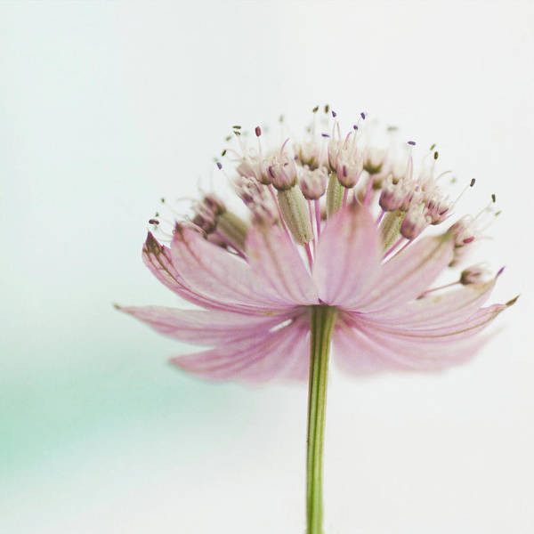 Astrantia Photograph - Astrantia by Jill Ferry