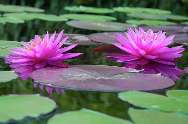 Wall Art - Photograph - At Longwood Gardens - Water Lillies  by Bill Cannon