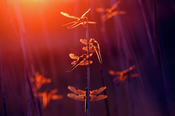 Wall Art - Photograph - At The Fairy Fair - Dragonflies At Sunset  by Roeselien Raimond
